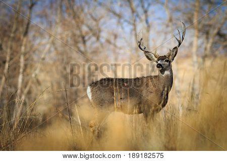 5-pointed buck deer looking back over its shoulder.