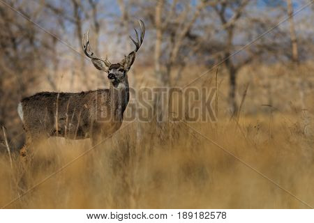 Statuesque 5-pointed buck deer looking backwards over its shoulder.