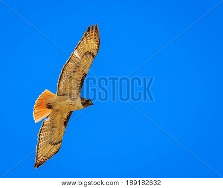 Red tailed hawk soaring lliesurely against a blue sky keeping its eye on you