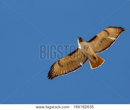 Red tailed hawk soaring against cloudless sky displaying its feathers