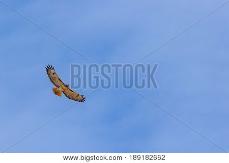 Beautiful wingspan view of Red tailed hawk soaring in the sky