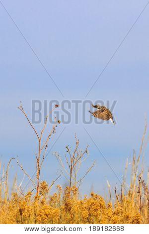 Eastern Meadowlark in flight landing on a Sun Flower stalk