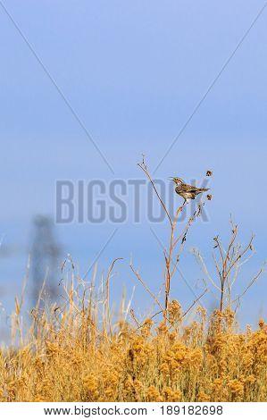 Eastern Meadowlark singing its song on a Sun Flower stalk