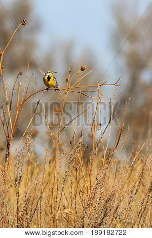 Eastern Meadowlark's displaying its right side profile