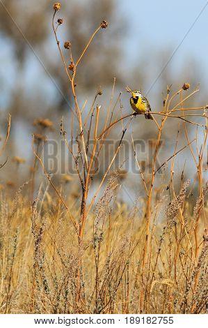 Eastern Meadowlark left side profile perched on a sun flower stalk