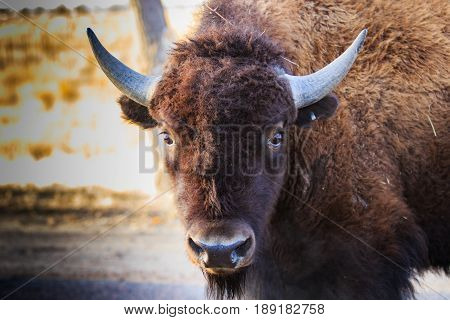 Wide eyed bison looking completely startled by you.