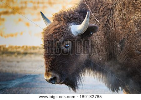 Clear eyed bison with frosty breath on a cold morning.