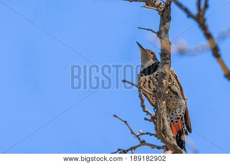 Northern Flicker grasping tree branch displaying spotted plumage.