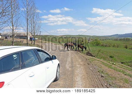 Horses in freedom near the Romanian village of Viscri Transylvania Romania