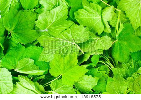 duftende Blätter der Johannisbeere