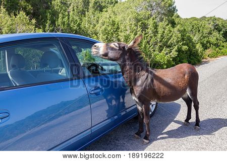 Wild donkey approaches blue car near Apostolos Andreas monastery in Karpasia Cyprus.