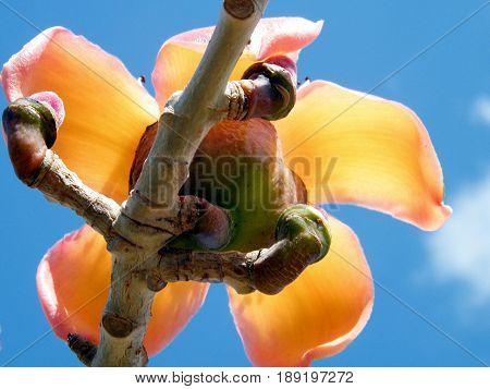 The Bombax ceiba flower in Edith Wolfson Park in Ramat Gan Israel March 1 2011