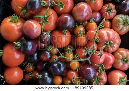 Imperfect homegrown red and purple heirloom and hybrid tomatoes