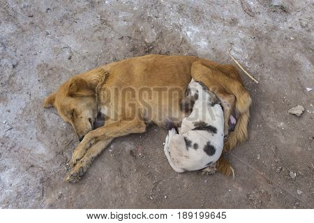 mother dog and puppy stray dog sleep together on street floor