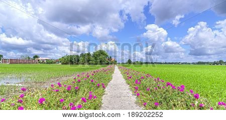 Portulaca grandiflora flower blooming on the roadside land rice fields are in transplants. This is the beauty of the idyllic, peaceful rural Vietnam