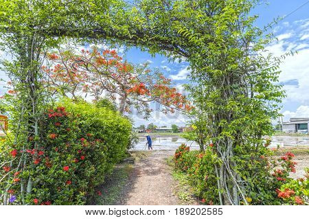 Long An, Vietnam - May 21, 2017: Farmers are working in the fields in front of flowers as decoration Red royal Poinciana beautify peaceful countryside in Long An, Vietnam