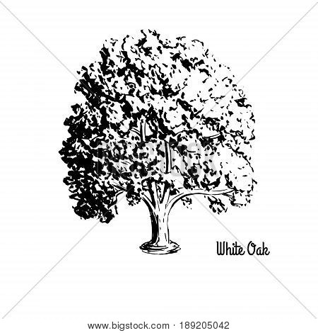Vector sketch illustration of White Oak. Black silhouette isolated on white background. Official state tree of Connecticut, Illinois, Maryland.