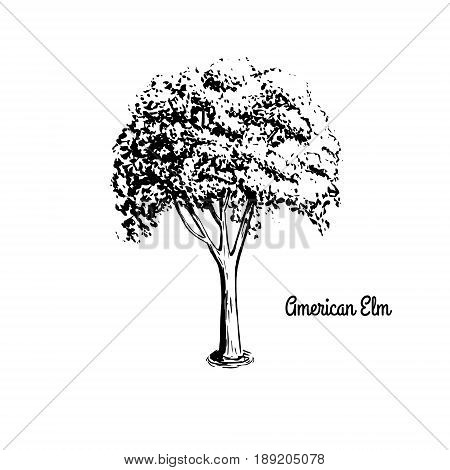 Vector sketch illustration of American Elm. Black silhouette of Water Elm isolated on white background. Official state tree of Massachusetts and North Dakota.