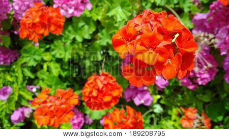 Brightly blooming geraniums (Geranium) on the streets of the island of Crete in Greece in the spring. Selective focus