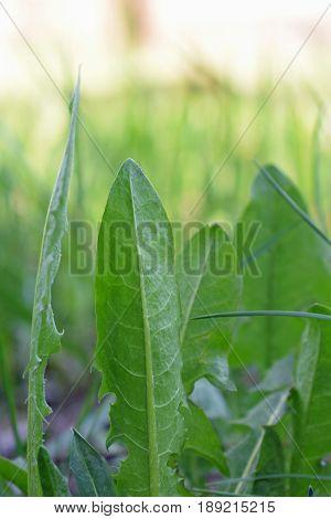 Leaves of dandelion close up. Vertical image