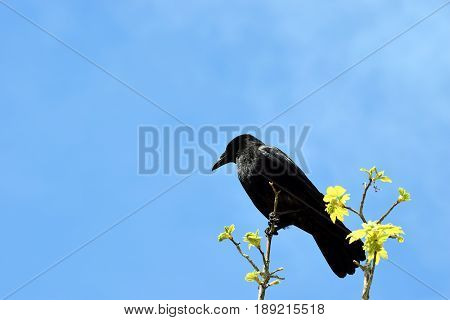 Raven (Corvus corax) sitting in a branch against blue sky.