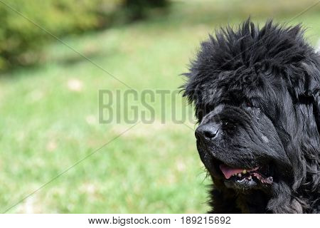 Old black newfoundland dog outdoors. Green field on background.