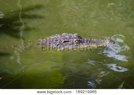 Big crocodile eyes are looking. Thailand close up. Crocodile in water.
