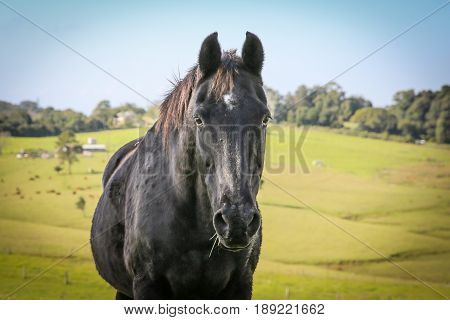 A black horse in a country paddock