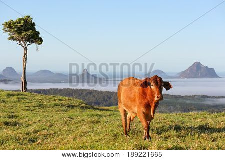 Brown Cow in an early morning mountain scene