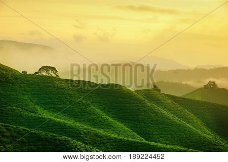 Tea farm in sunrise with golden sky at Cameron Highlands, Malaysia