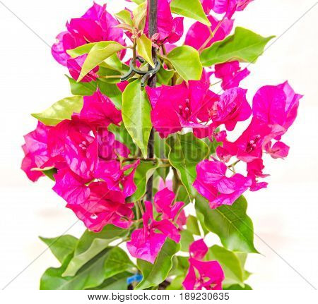 Bougainvillea pink branch flowers paper flower with green leafs isolated on white background. poster