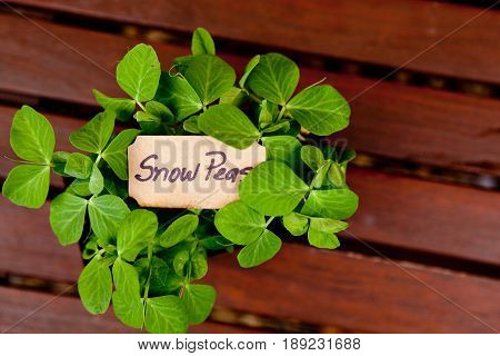 Snow pea seedlings with label on wooden background