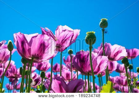 Purple poppy flowers with clear blue sky in background poppy heads detail