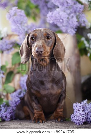 Dachshund dog in lilac flowers