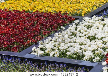 Plenty of Colorful Dutch Tilips Placed in split Areas in Garden. Keukenhof National Park.Horizontal Image Composition
