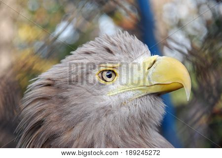 Portrait of a juvenile White-tailed eagle (Haliaeetus albicilla)