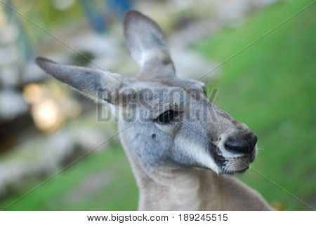 Portrait of a kangaroo, kangaroo head close up