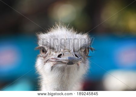 The Ostrich or Common Ostrich  bird head and neck