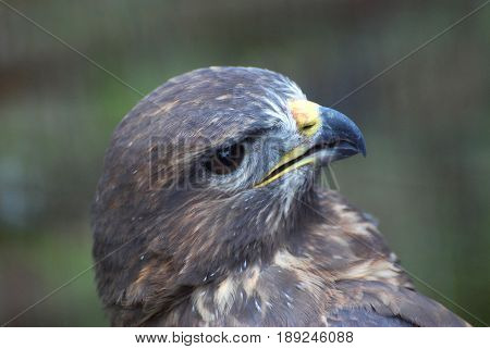 Bird of prey, Common buzzard, Buteo Buteo. Head of small falcon