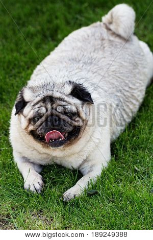 A pug dog outdoors in a garden. portrait of a lovely funny white cute fat good pug dog