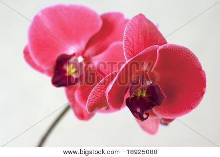 roten Orchidee isolated on white background