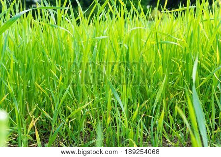 View on green Grass. Grassland. Growing Grass. Close-up of Baldes of Grass. A Field full of Grass. Meadow