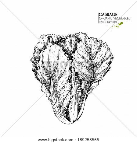 Vector hand drawn set of farm vegetables. Isolated chinese cabbage. Engraved art. Organic sketched vegetarian objects. Use for restaurant menu grocery market store party meal