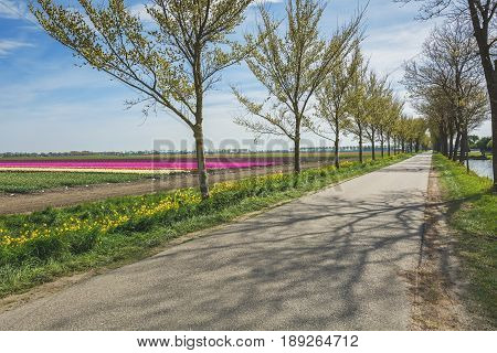 Road with a row of trees flanked by the beautiful and colorful tulip fields in the Dutch polder landscape