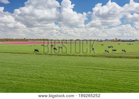 One hundred percent Dutch grazing cows beside the blooming tulip fields in the polder.