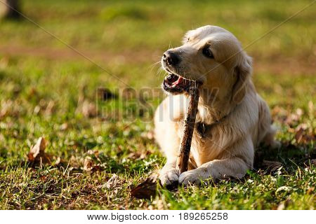 Retriever gnawing stick lying on lawn in park