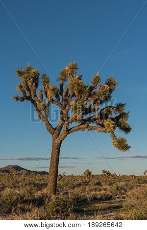 Large Joshua Tree In Afternoon Light