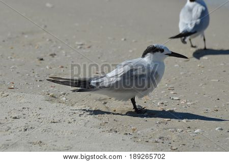Sandwich tern bird standing on a white sandy beach in Florida.