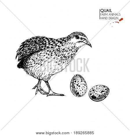 Vector hand drawn set of farm animals. Isolated quail bird and eggs. Engraved art. Organic sketched farming birds. Use for restaurant, menu, grocery, market, store, party, meal