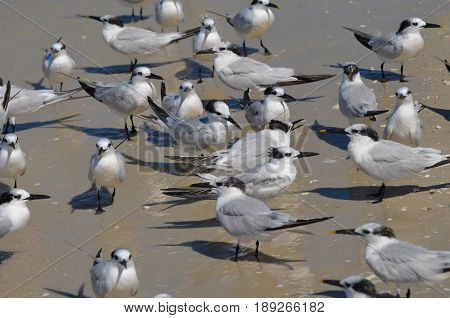 Large group of sandwich tern birds gathered together on a beach.